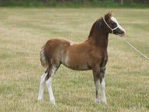 Leuke Welse Pony Foal stock afbeelding