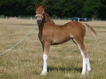 Leuke Welse Pony Foal royalty-vrije stock foto