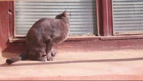 Leuke wilde kat die haar bont in de straat bij het plaatsen van zon schoonmaken stock videobeelden