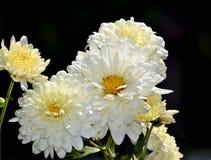 Leuke Witte Chrysantenbloemen in de tuin Royalty-vrije Stock Foto