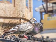 Leuke witte duif met zwarte sproeten die zich op stadsfontein bevinden Royalty-vrije Stock Afbeelding