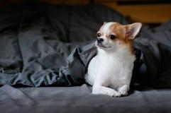 Leuke witte en bruine Chihuahua-hond onder deken in bed stock fotografie
