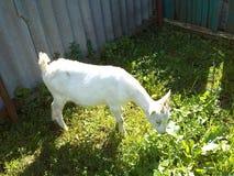 Leuke witte geit Royalty-vrije Stock Afbeeldingen