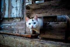 Leuke witte kat die uit een gat in een houten omheining kijken stock fotografie