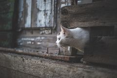 Leuke witte kat die uit een gat in een houten omheining kijken royalty-vrije stock foto