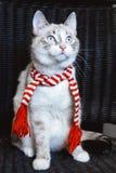 Leuke witte kat in gestreepte sjaal die omhoog omhoog dicht, donkere achtergrond kijken royalty-vrije stock afbeelding