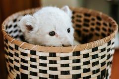 Leuke witte leeuwwelp in bruine mand stock foto