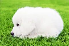 Leuke witte puppyhond die op gras liggen Royalty-vrije Stock Fotografie