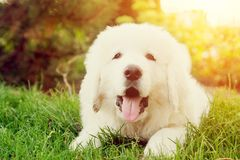Leuke witte puppyhond die op gras liggen Poolse Herdershond Tatra stock foto's