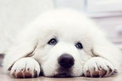 Leuke witte puppyhond die op houten vloer liggen Stock Afbeeldingen