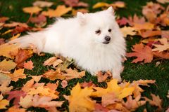Leuke witte spitz hond in de herfstbladeren stock foto's