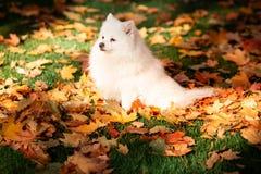 Leuke witte spitz hond in de herfstbladeren royalty-vrije stock afbeeldingen