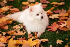 Leuke witte spitz hond in de herfstbladeren royalty-vrije stock fotografie