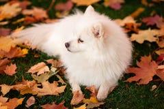 Leuke witte spitz hond in de herfstbladeren royalty-vrije stock afbeelding