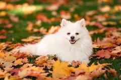 Leuke witte spitz hond in de herfstbladeren royalty-vrije stock foto's