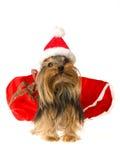 Leuke Yorkie die de hoed van de Kerstman draagt royalty-vrije stock fotografie
