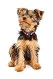 Leuke Yorkie-Hond die omhoog eruit zien stock fotografie