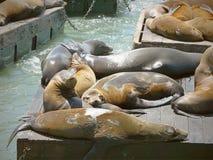 Leuke zeeleeuwen die hun dag doorbrengen die een dutje nemen die op een zonnige dag op houten platforms bij Pijler 39 zonnebaden Royalty-vrije Stock Foto's
