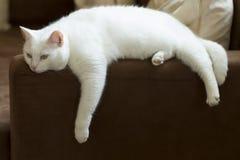 Leuke zuivere witte kat die op een bank rusten royalty-vrije stock afbeelding