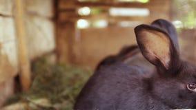 Leuke zwarte en grijze konijnensprong in een kooi Groeiende landbouwbedrijfdieren stock videobeelden