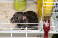 Leuke zwarte muis in de kooi die rond de lucht snuiven Stock Foto