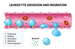 Leukocyte adhesion and migration. After activation by chemotactic agents, the leukocytes change shape. The leukocytes then crawl and undergo diapedesis by Stock Photos
