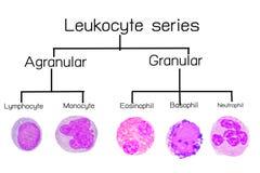 Leukocyte serie Obraz Royalty Free