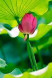Leunde elk van Lotus stock fotografie