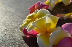 Leus do Plumeria Fotografia de Stock Royalty Free