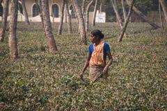 Leute, die auf den Teegebieten in Srimangal, Bangladesch arbeiten Stockfotografie