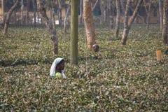 Leute, die auf den Teegebieten in Srimangal, Bangladesch arbeiten Stockfoto