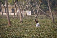 Leute, die auf den Teegebieten in Srimangal, Bangladesch arbeiten Stockfotos