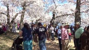 Leute, die Cherry Blossoms am Samstag genießen stock video