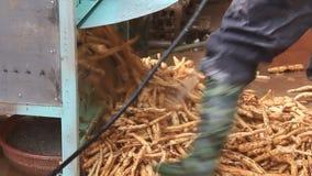 Leute, die Kudzu-Mehl verarbeiten stock video