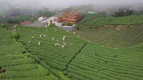 Leute, die Oolong-Teeblätter auf Plantage in Alishan-Bereich, Taiwan erfassen Schattenbild des kauernden Gesch?ftsmannes stock footage