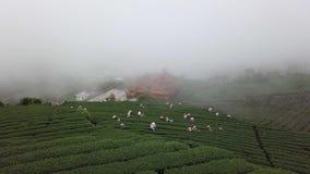 Leute, die Oolong-Teeblätter auf Plantage in Alishan-Bereich, Taiwan sammeln Vogelperspektive im nebeligen Wetter stock video