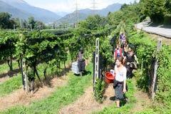 Leute, die Traube auf einem Weinberg bei Vezia auf der Schweiz ernten Lizenzfreies Stockbild