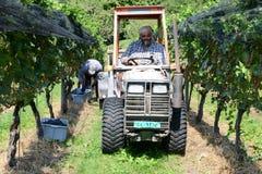 Leute, die Traube auf einem Weinberg bei Vezia auf der Schweiz ernten Stockfotografie