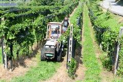 Leute, die Traube auf einem Weinberg bei Vezia auf der Schweiz ernten Stockfoto