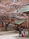 Leute, die unter Kirschblüte-Bäumen im Schrein stehen Stockfoto