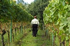 Leute, die Weintrauben ernten Lizenzfreie Stockfotos