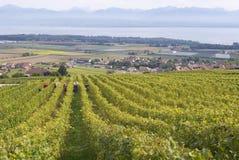 Leute ernten Traube an einem Weinberg in Fechy, die Schweiz Lizenzfreie Stockbilder