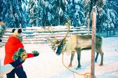 Leute-Fütterungsren im Schnee Forest Rovaniemi Finland Lapland stockbild