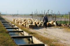 Leute lassen Herde von Schafen weiden Stockbilder
