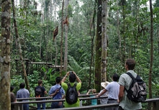 Leute machen Fotos von Orang-Utans Pongo pygmaeus auf einem Seil des Baums Lizenzfreie Stockbilder