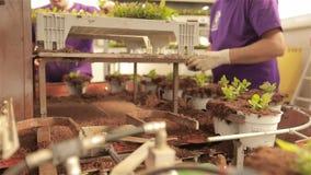 Leute pflanzen Jungpflanzen in den Töpfen, Leutebetriebsanlagen in den Töpfen auf einem Förderband stock video footage
