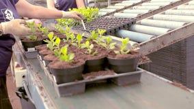 Leute pflanzen Jungpflanzen in den T?pfen, Leutebetriebsanlagen in den T?pfen auf einem F?rderband stock video