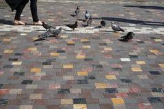 Leute und graue Tauben, die mit Formschatten auf buntem quadratischem Formmarmor-Beschaffenheitsboden im alten Stadtplatz gehen Stockbilder