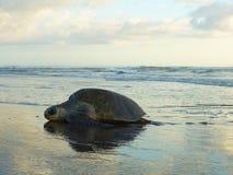 Leute und Meeresschildkröte auf dem Sand und dem suntet Lizenzfreie Stockfotos