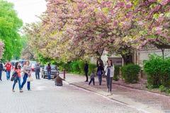 Leute werden gegen den Hintergrund von Kirschblüten fotografiert Stockbilder